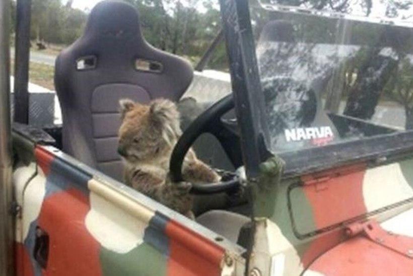 Uskumatud pildid: koaala autojuhiks!