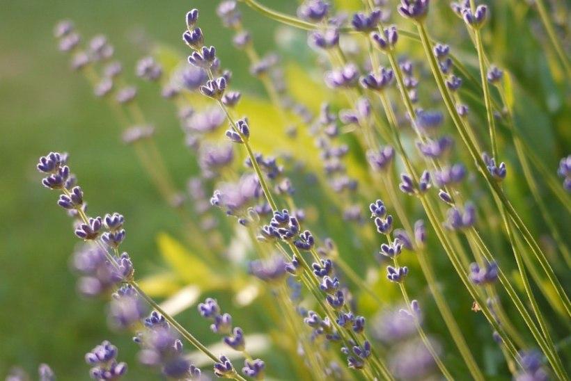 Rosmariin ja lavendel – rahustavad ja toetavad organismi