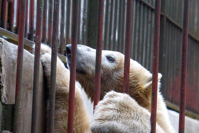 """""""Loomaaia jääkarud valivad partneri ise. Meie peame olema kosjasobitajad!"""""""