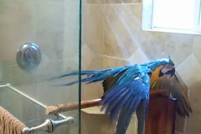 VIHMAMETS VANNITOAS: vaata papagoid, kes naudib pesemist