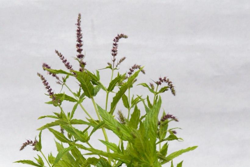 Piparmünt - kas just see õige taim, mis toob magusa une?