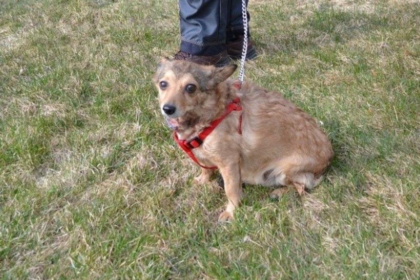 JÕHKER TEGU: Tallinnas poos mees koera üles ning vigastas teist
