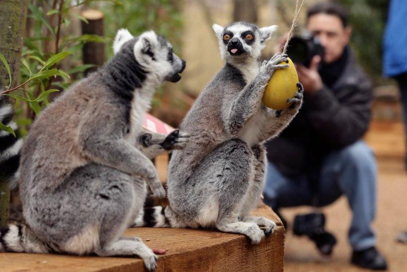 FOTOD: Londoni loomaaia leemuritel on kevadpühad