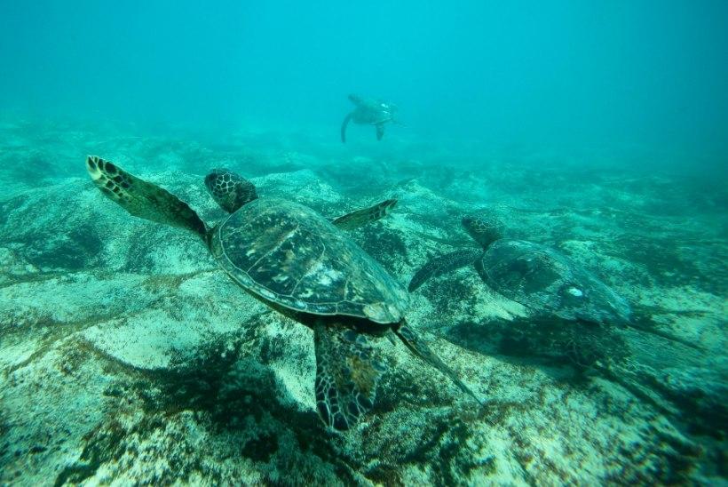 USKUMATU: liiga agarad loodusesõbrad uputavad Floridas kilpkonni
