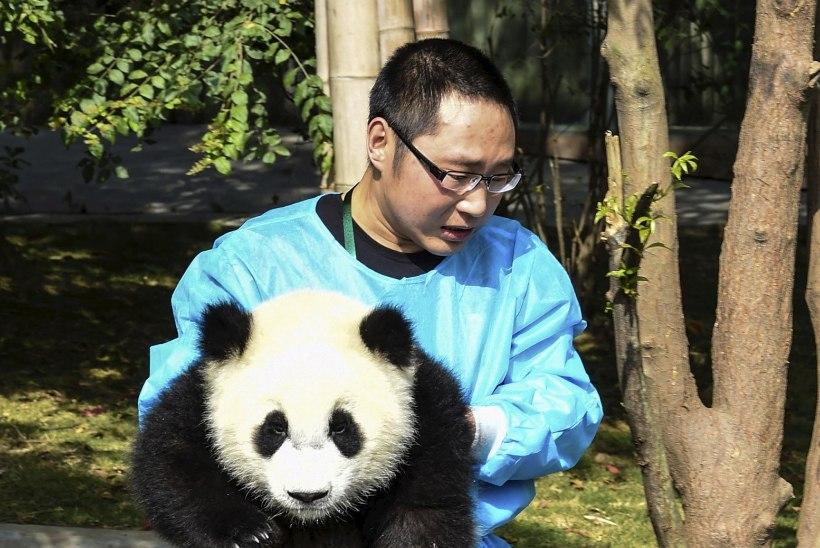 Hiinas käärib pandaliha-skandaal