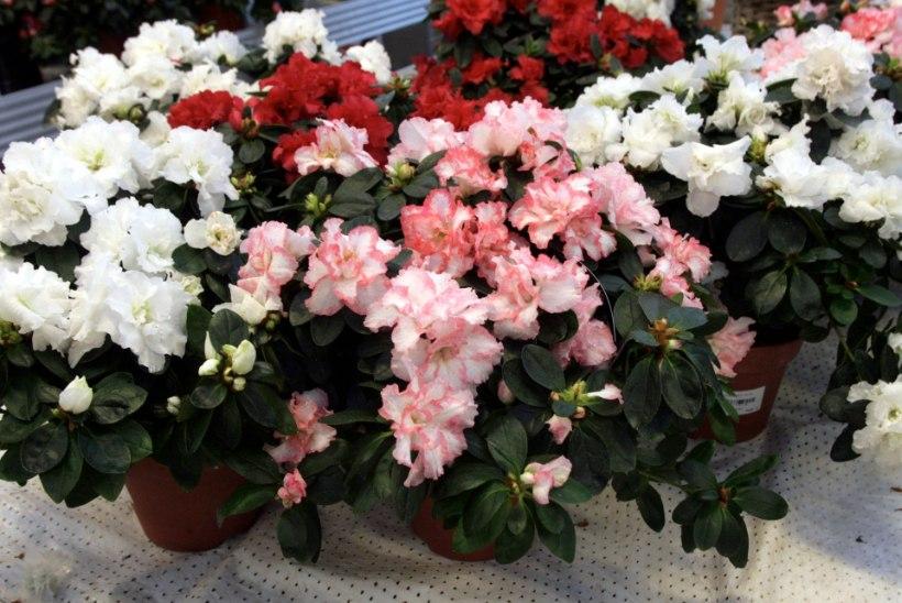 Üheksa tervisele ohtlikku taime su toas ja aias
