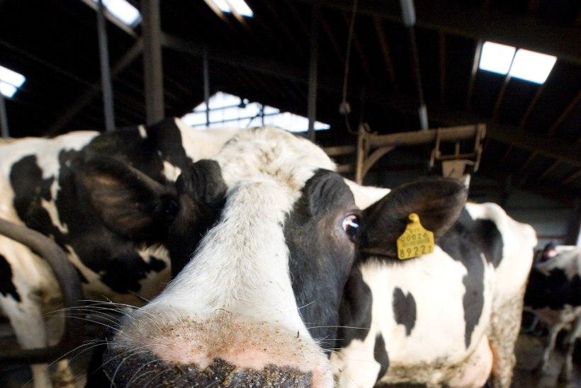 VALUS LÖÖK: piimatootjad peavad ületootmise eest maksma 2,2 miljonit eurot trahvi