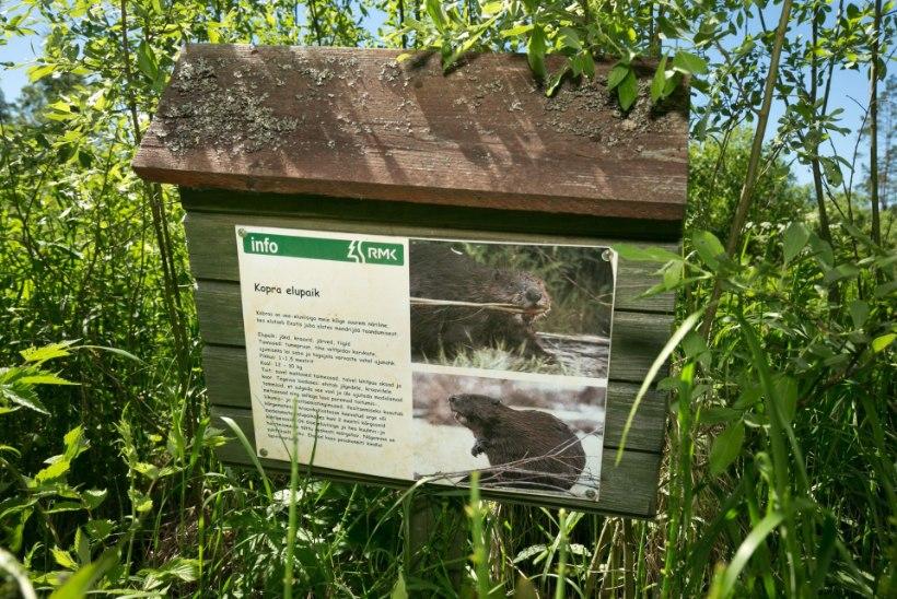 Metsniku elu rippus juuksekarva otsas: koprad tassisid oma tammi mürsu!