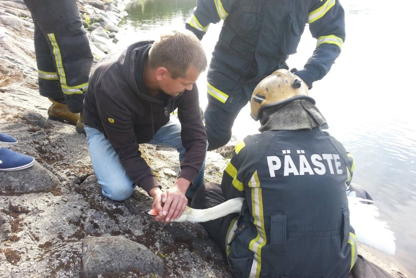 FOTOD | Päästjad vabastasid luige konksudest