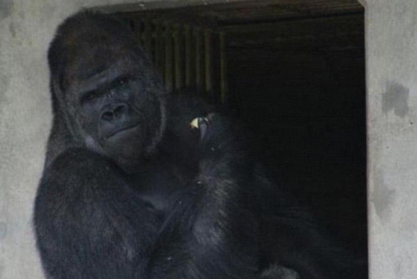 """VÕLUB JA MURRAB: """"kuum"""" gorilla, kes ajab naised metsikuks"""
