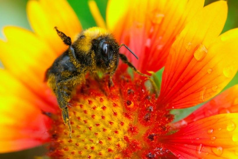 Mida teha, kui mesilane nõelab?