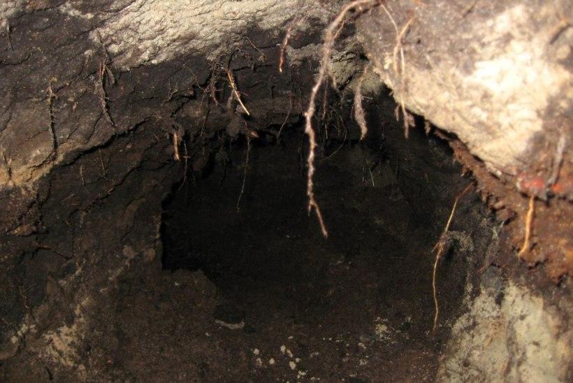 FOTOUUDIS | Pääskülas kaevas kobras oma urgu viiva käigu täpselt keset teed