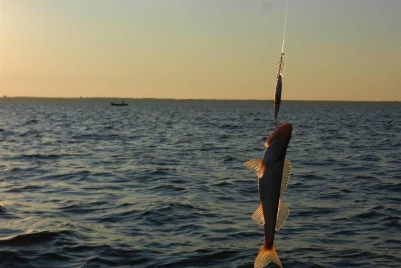 Suur kalakaitsereid Pärnu lahel