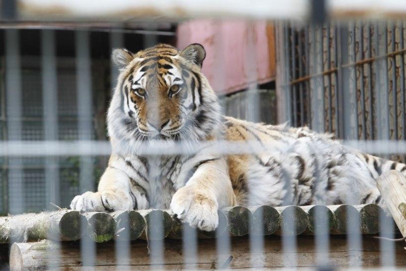 GALERII | Tiiger Pootsman sai tiigripäeva puhul verejäätist