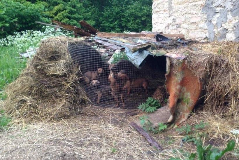 ÕUDUS KUUSALUS: koeravabrik pidas loomi koletuis tingimusis