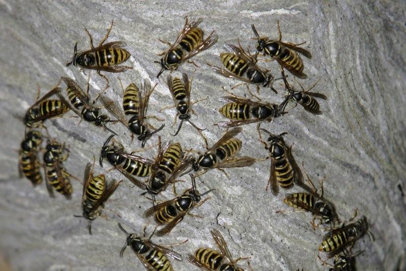 AINULT ÜKS KÜSIMUS | Kuidas peaksin käituma putukahammustuse korral?