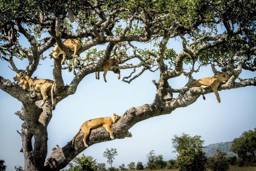 VAHVAD FOTOD | 15 lõvi korraga puu otsas