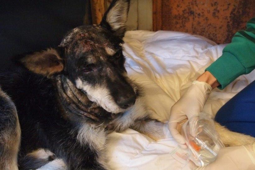 """Marianne Mikko käis piinatud koera vaatamas: """"Mind jahmatab omanike julmus!"""""""