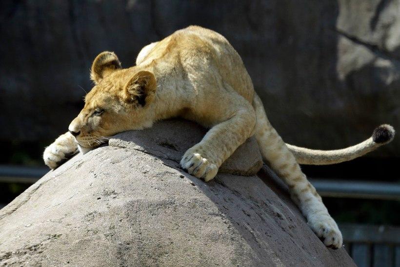METSIKUD JA SUURED SÕBRAD: tiiger, karu ja lõvi veedavad ühiselt aega