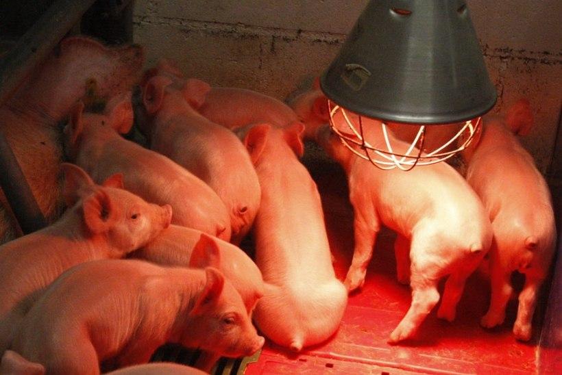 Sigadekatk jõudis Jõgevamaale: Altnurga farmis hukatakse üle 6400 looma