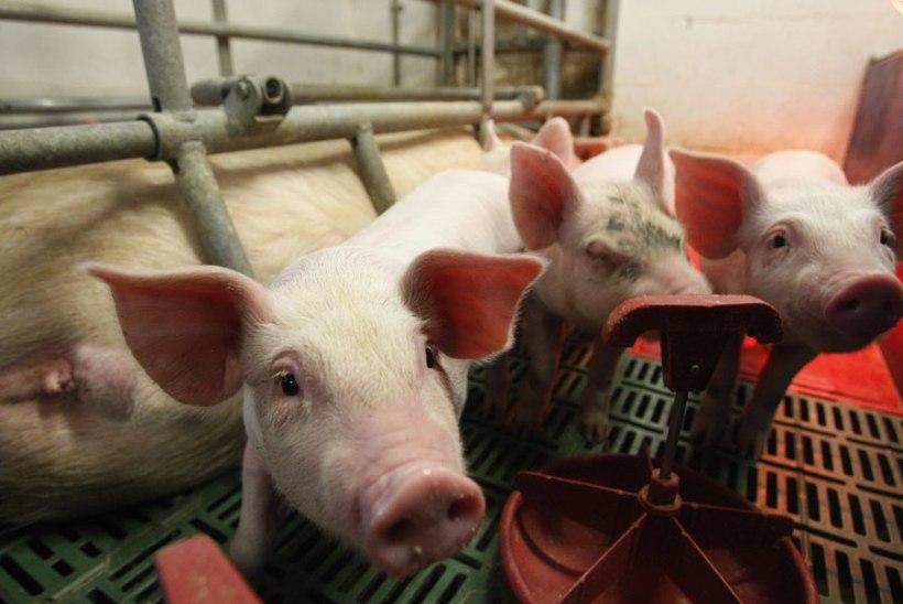VTA: septembri jooksul lõpetab seakasvatuse 90 farmi
