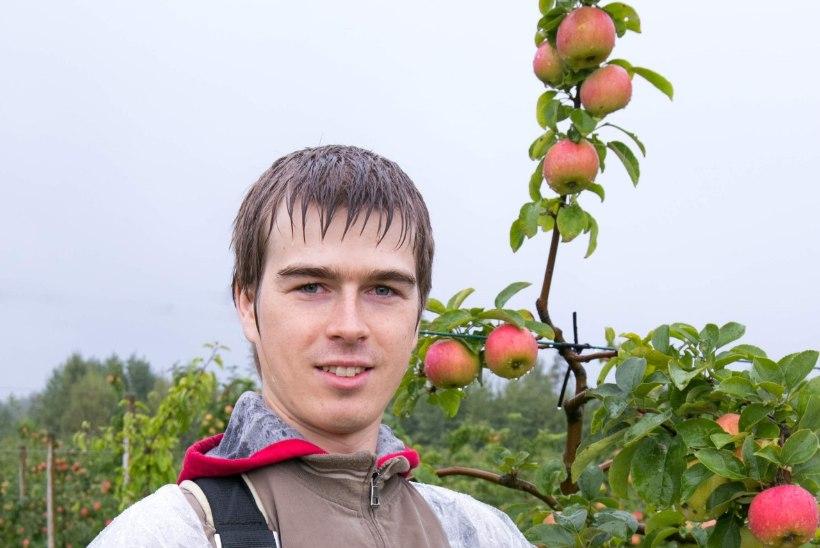 Õunauputus: ilusamad ubinad pane keldrisse, teised tee mahlaks või moosiks
