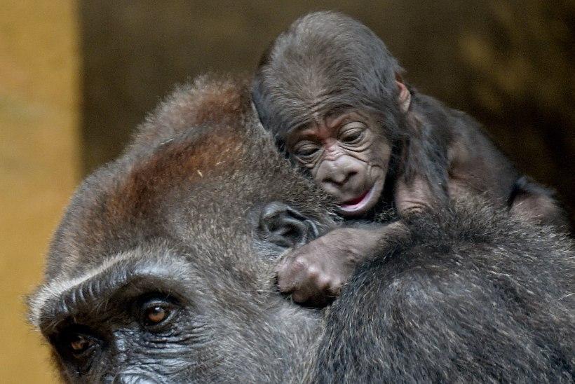 ARMASTUS EI LASE LAHTI: gorilla kannab ja üritab poega äratada veel nädal pärast surma