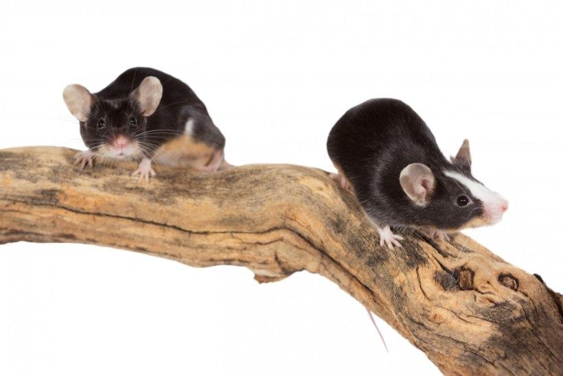 Emased hiired piiksuvad armulaulu
