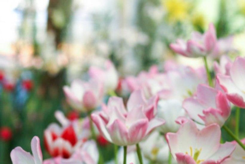 Pane aed kevadel õitsema ehk Põhjalik õpetus, kuidas sügisel sibullilli istutada