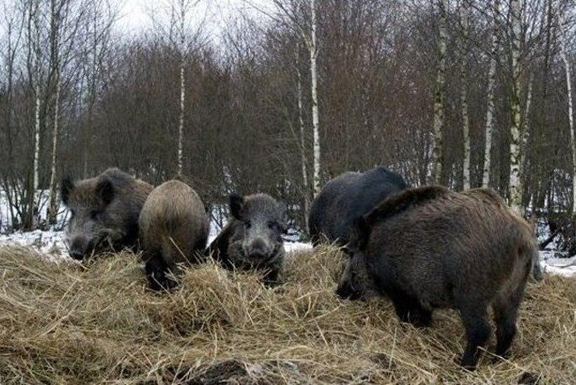 Eesti teadlane: Euroopa jaoks on seakatk enneolematult ohtlik looduskoldeline nakkus
