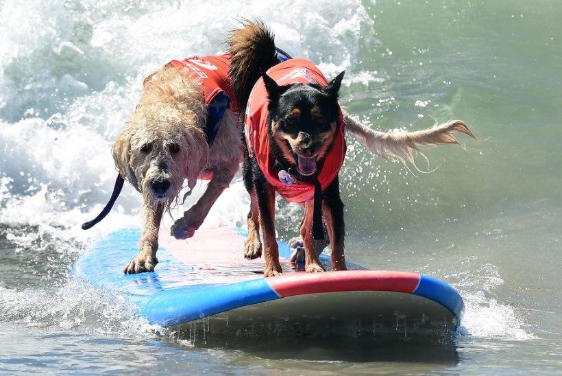 GALERII | Julged surfikoerad