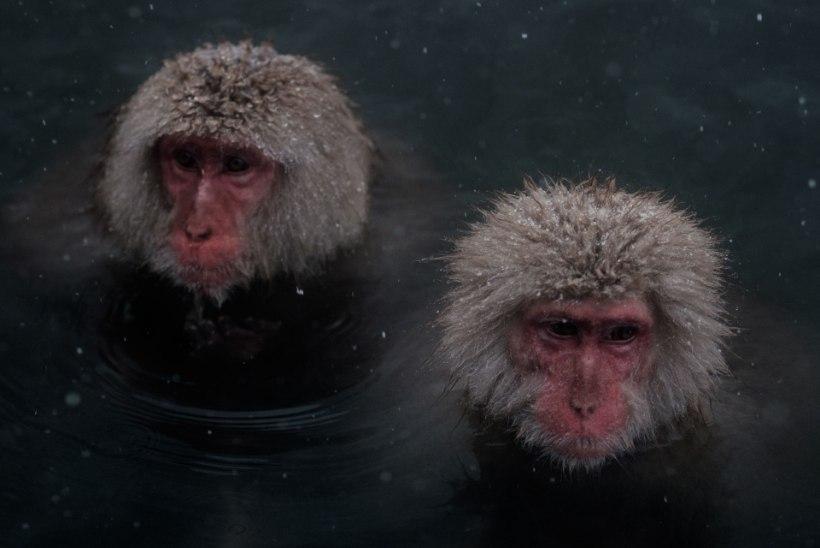 Peasiirdamist katsetati ahvide peal