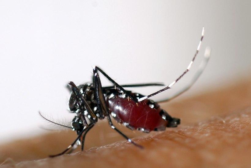 Lõuna-Euroopas levitavad Zika viirust aasia tiigersääsed