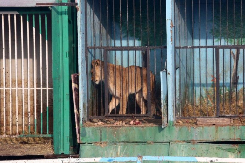 Hirmutavad pildid maailma kõige kurvemast loomaaiast: nälgivad karud ja lõvid, kelle hülgas miljardärist oligarh