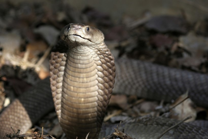 MASSIPÕGENEMINE | Hiinas pani plehku 50 kobrat