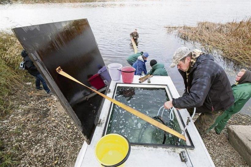 Pärnu jõkke lasti ligi 34 000 siiga