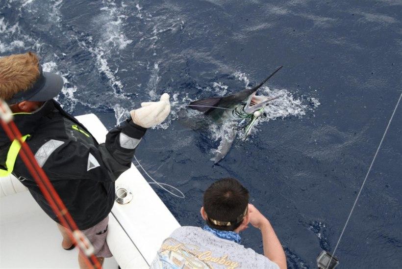 Assooridele kalale: püüame kalu, mis kaaluvad sadu kilosid!!