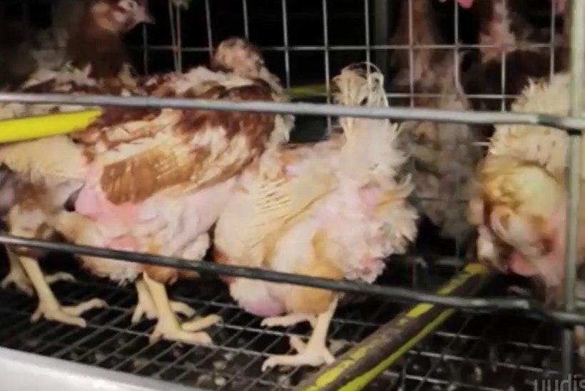 TV3 VIDEO | JUBEDAD KAADRID: Eestis müüdavate Läti kanamunade julma tootmisprotsessi telgitagused