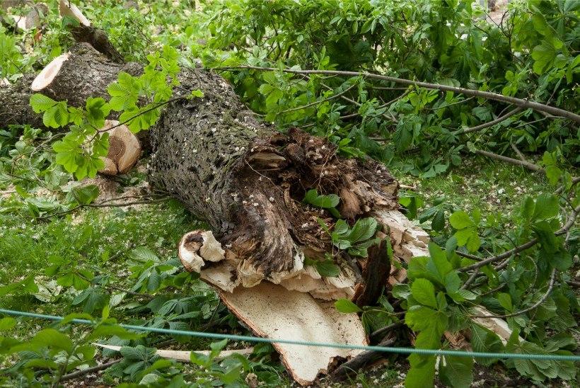 Krimiülevaade kolmapäeval: murduvad puud ohustavad sõidukeid