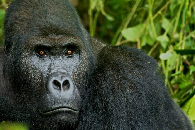 Hiidpandad on väljasuremisest päästetud, kuid inimahvid virelevad huku äärel