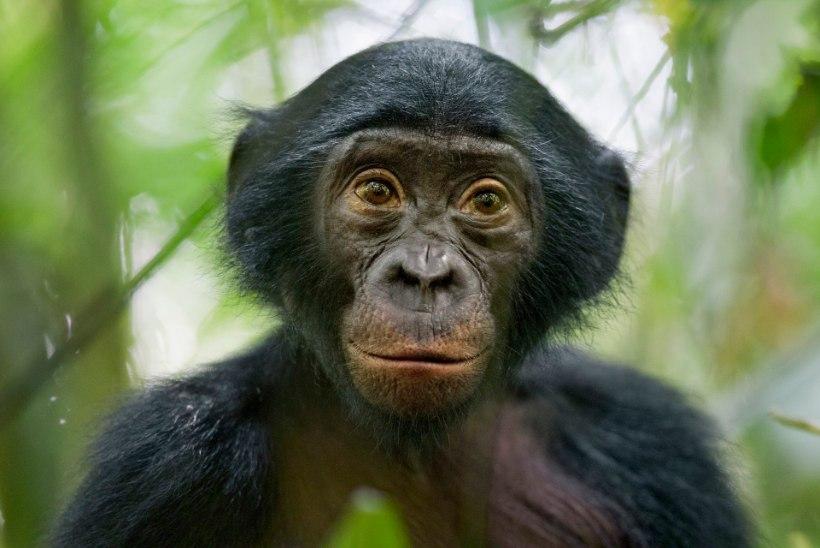 Inimene pole ainuke: ka vananevad ahvid vajaksid prille