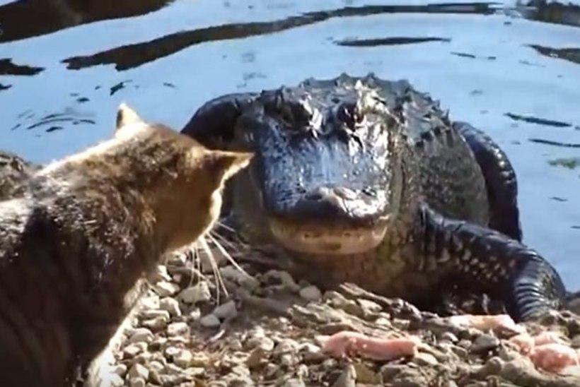 VIDEO   Ägedad kassid, kes ei tagane ei krokodilli, kobra ega puuma eest, koerast rääkimata