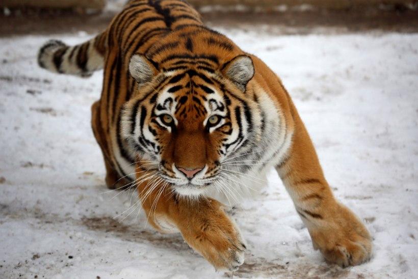 TIIGER LAPSE LÄHEDUSES: keti otsas olnud tiiger tegi ootamatu rünnaku...