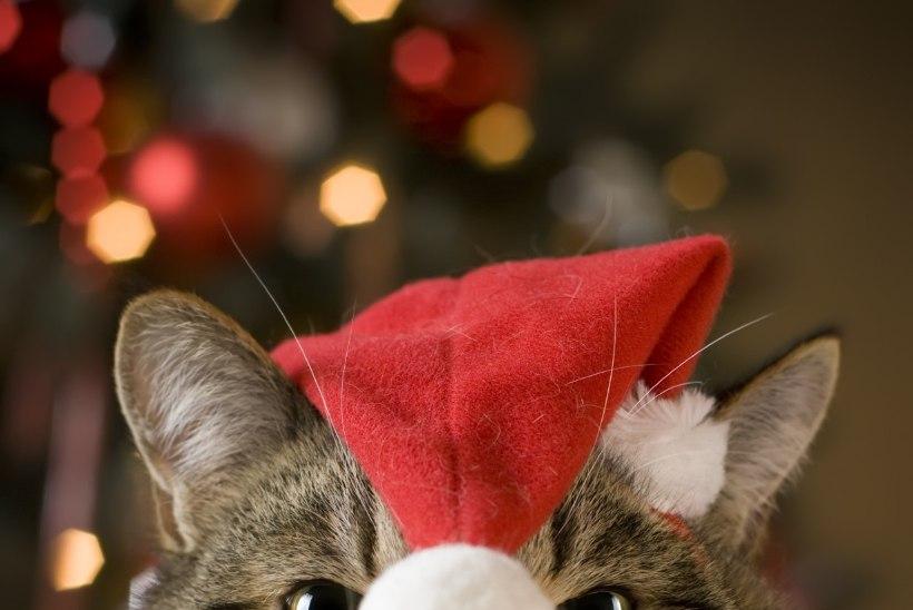 NATUKE TÜLPINUD JA KURI: kass, kellest tehti jõuluvana