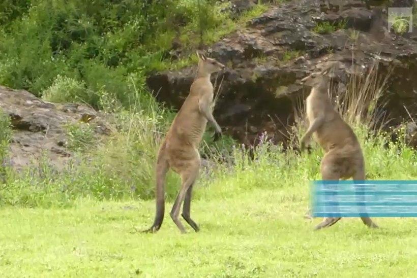 """PÄEVAVIDEO: kängurud kaklevad kui """"Matrixi"""" staarid"""