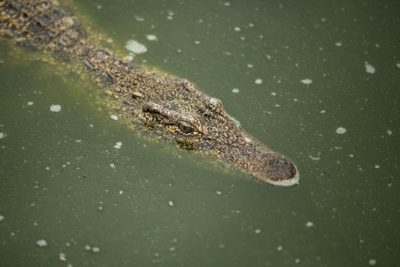 Lõuna-Aafrika Vabariigis proovisid kolm venda rituaali käigus krokodilliga vahekorda astuda