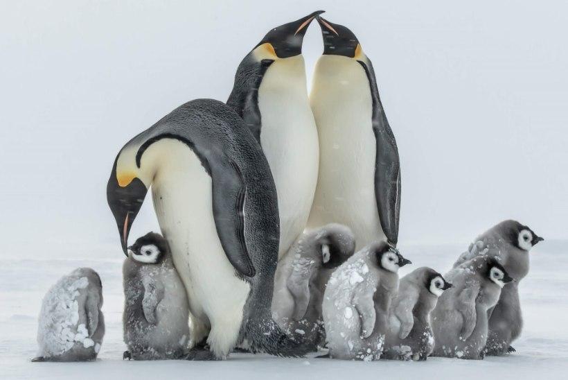 VIIMANE SOOV TÄITUS: isa pildistas tütre mälestuseks Antarktikas pingviine