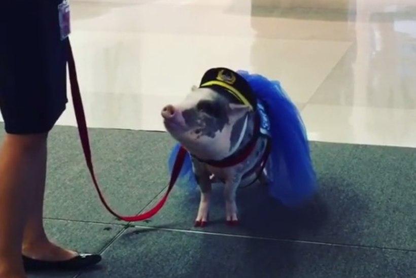VIDEO   Nunnu minisiga rahustab lennujaamas närvilisi reisijaid
