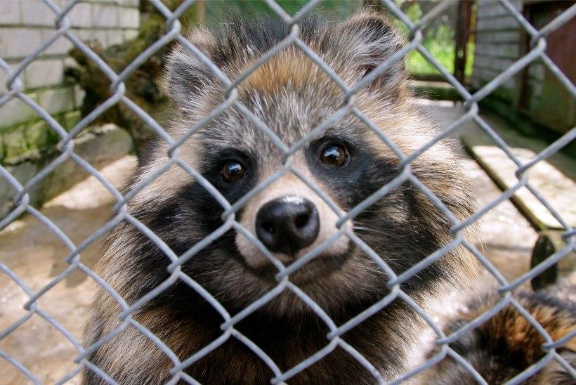Poolas avaldati šokeeriv videomaterjal karusloomafarmidest