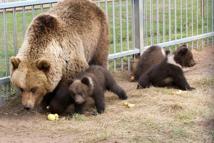 Alaveski loomapargis elavaid karupoegi võib oodata hukkamine